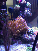 Flame Bubble Tip Anemone For Sale