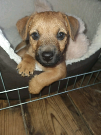 Male border jack puppy, last one.