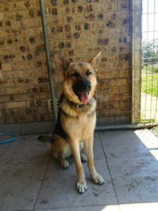 German Shepherd 12months old