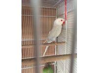 White Ringneck parrot