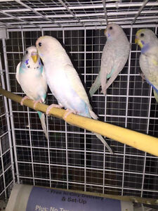 Budgie for $20