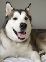 Beautiful 15 Month Female Alaskan Malamute