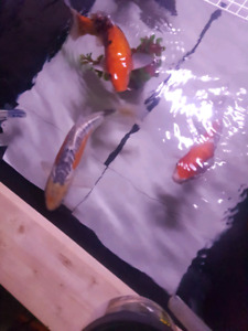 Real Japanese Koi