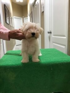 REG'D Female Havanese Puppy on Co-ownership
