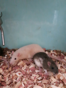 Female Rats Free (not pregnant)