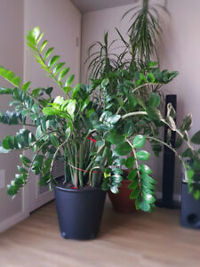 Welcome plant(ZZ plant) for sale