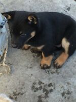 5 Red Heeler x Kelpie Puppies
