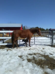 2 beautiful mare's for sale
