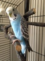 Beautiful male budgie and cage/supplies