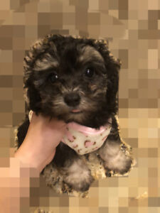 super cute! silver toy poodle puppy