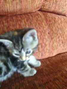One female 8 week multi coloured kitten to give to a good home