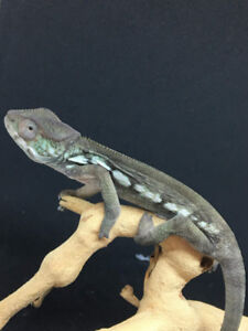 Two 4 month old female ambilobe panther chameleons in stock