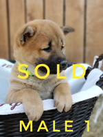 Shiba Inu puppies - ALL RESERVED