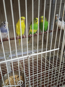Budgies---Youngs,Breeders