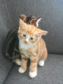 3 male kittens ,2 ginger and 1 tabby £280 each or £540 both