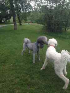 TAKING IN HYPOALLERGENIC DOGS TO BE W/ MY STANDARD POODLE LEVON