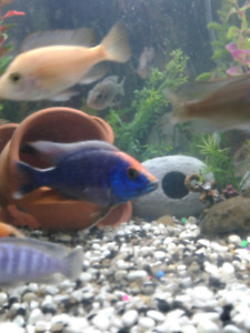 Buying African Cichlids , Can Rehome 4U2