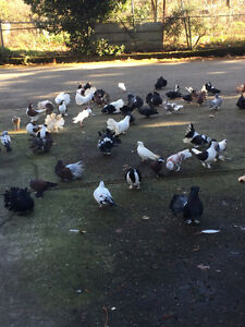 Indian fantail pigeons .