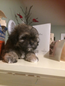 Maltese, Miniature Poodle/Shih-Zue Mix Pups for sale