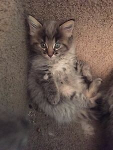 Persian Maine Coon Kittens