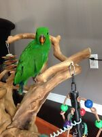 6 Month old RED SIDED Eclectus Parrot