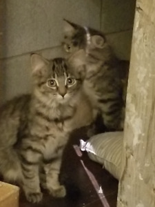 Chatons male 4 mois 80$