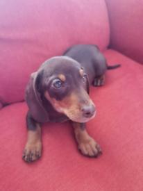 Dachshund puppy for sale!!!