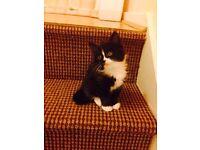Kitten for Sale (black & white), Persian Cross mother Bethnal Green