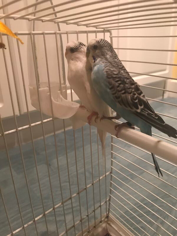 2 young budgies, 1 year old (come with