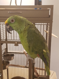 Yellow Crowned Amazon Parrot for sale