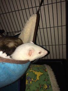 2 ferrets ***NEW PRICE***
