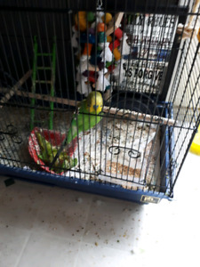 Budgies for re homing
