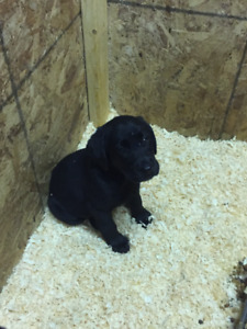 CKC Reg'd Lab Puppies