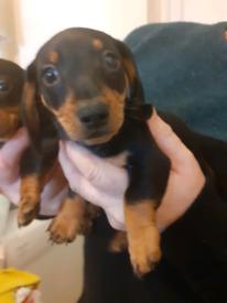 Dashhound puppies 1 boy and 1 girl