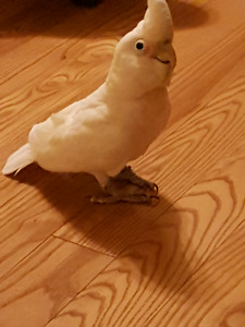 Male goffin cockatoo