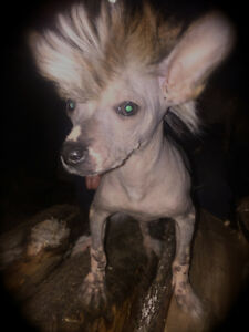 Chinese Crested Summer pups have arrived ... Reserve Now..