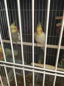 Two cockatiels with cage and accessories