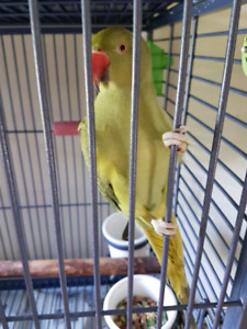 Ring neck parakeet for sale (Cage Included)
