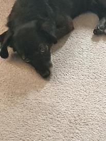 Chihuahua Cross bitch
