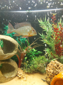Geophagus Surinamensis NOW SOLD