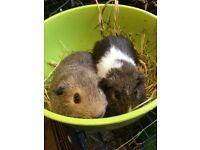 Georgia baby guinea pigs