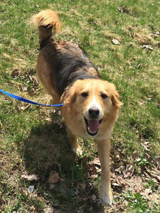 MEET STAR 1-2 YR OLD COLLIE MIX AVAILABLE FOR ADOPTION