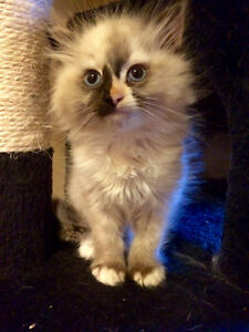 Looking for a female kitten or cat