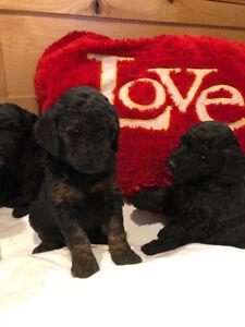 Double Doodles Pups For Sale
