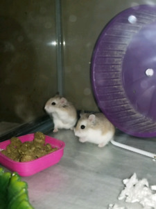 Robo hamsters all included