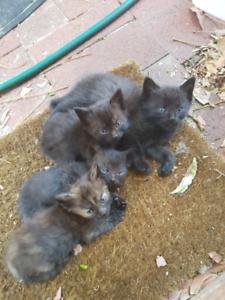 Ragdoll X Kittens