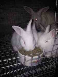 NEWZEALAND white bunnies for sale