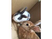 Two Male Baby Rabbits For Sale