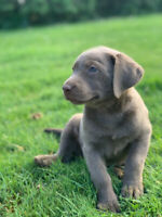 Purebred silver lab puppies for sale | Dogs & Puppies for