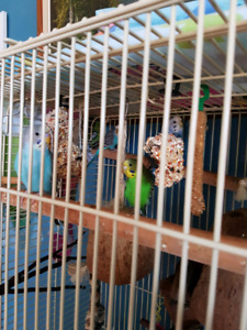 4 budgie for sale with cage  $125
